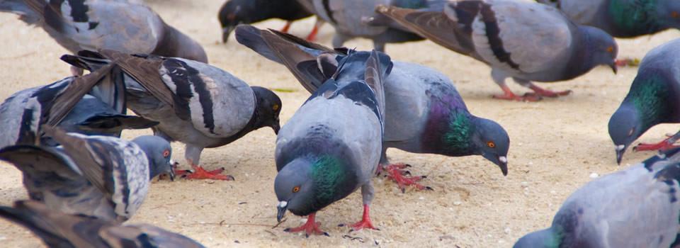 Friendswood bird control