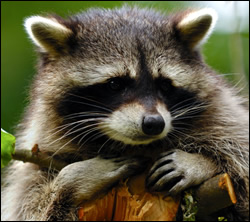 raccoon removal Coppell