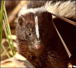 skunk removal Coppell